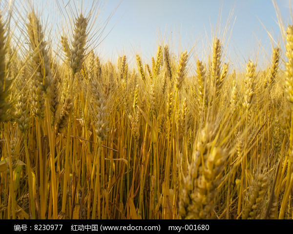 麦穗成熟图片