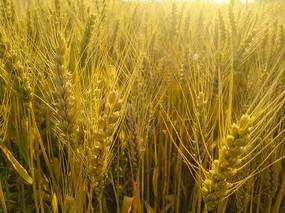 麦穗夕阳洒落