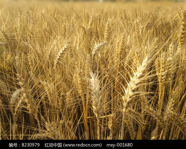 麦田麦穗成熟图片