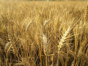 麦田麦穗成熟