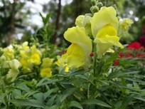 盛开的黄色金鱼草