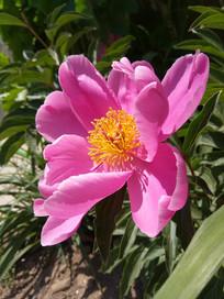 赤芍花中的金色花蕊图片