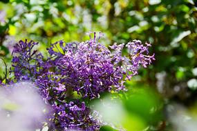 浪漫的紫花丁香
