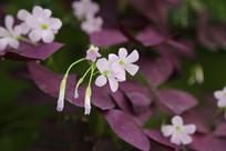 紫叶醡浆草