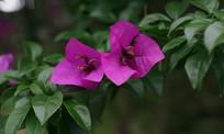 两朵紫色花开了