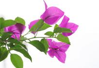绿色叶子紫色花