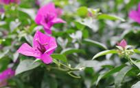 绿色中的紫色花开