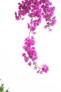 漂亮的紫色花开