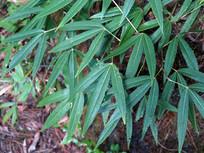 蔷薇科植物竹叶鸡爪茶