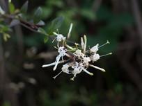 水晶棵子的白色花朵