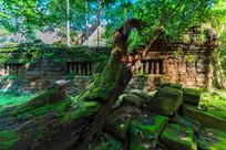 吴哥的千年古树