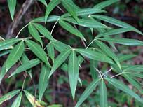 竹叶鸡爪茶枝叶