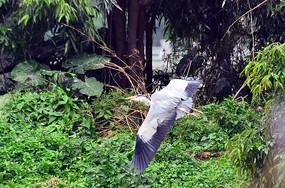 飞翔的苍鹭