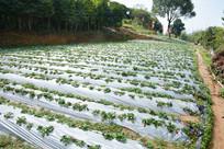 观澜山水田园草莓园