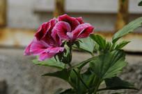 玫红色的蜀葵花