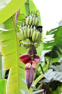 树上的香蕉