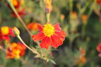 一朵绽放的小红花