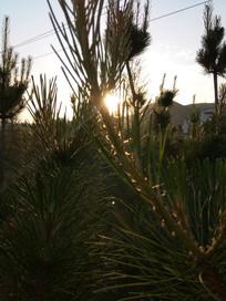 金色阳光下的松树枝图片