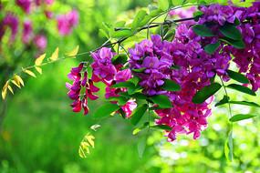 浪漫的紫槐花
