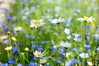 路边白色的野菊花