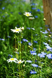 清新的白色野菊花