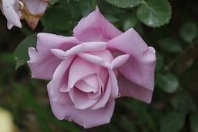 盛开的浅紫色玫瑰花