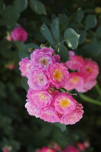 玫红色的蔷薇花