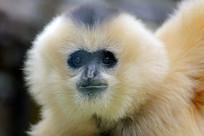 白颊长臂猿