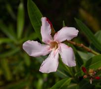 粉色欧洲夹竹桃