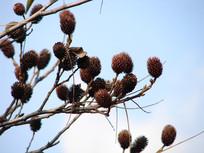 化香树干枯的果序