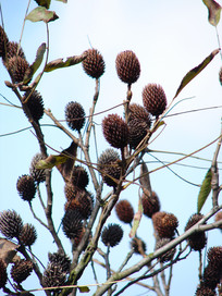 化香树果序