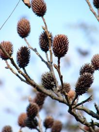 胡桃科植物化香树