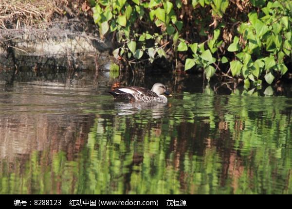 水边的野鸭图片