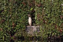 梳理羽毛的灰鹭鸶
