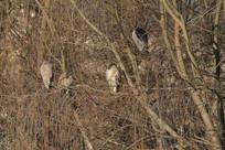 一群悍然大睡的休息中的夜鹭