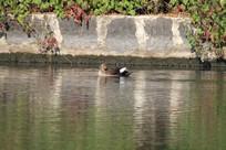 整理羽毛的野鸭