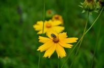 有蜜蜂采蜜的小波斯菊菊