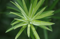 嫩绿枝叶上的透亮水滴