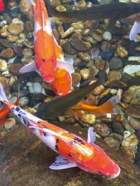 观赏鱼红锦鲤鱼