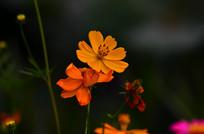 美丽的波斯菊