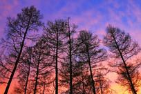 松林夕阳风景