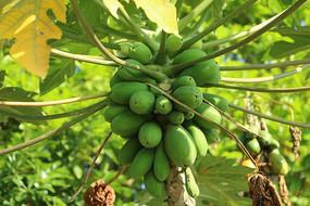 树上番木瓜