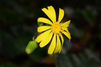 黄色的小菊花