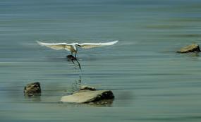 飞行中的小白鹭