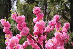 粉红的桃花花枝花朵