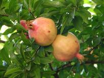 石榴浆果和枝叶