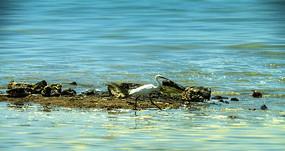 寻觅食物的小白鹭