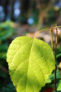 一片绿树叶