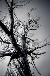 百年古树黑白照