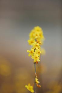 金色的迎春花花条花心